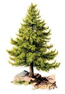 pine_tree